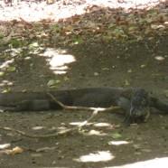 Komodo-drekar